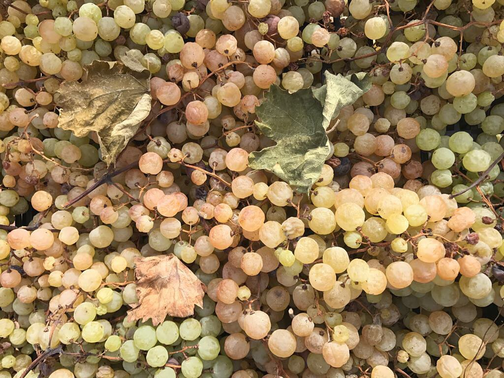 Our fields of Gold ??Ca'Botta creates white #wine according to the #Amarone recipe. Dried #grapes and fermentation in #December are the main preconditions for getting outstanding full-bodied white wines #cheers