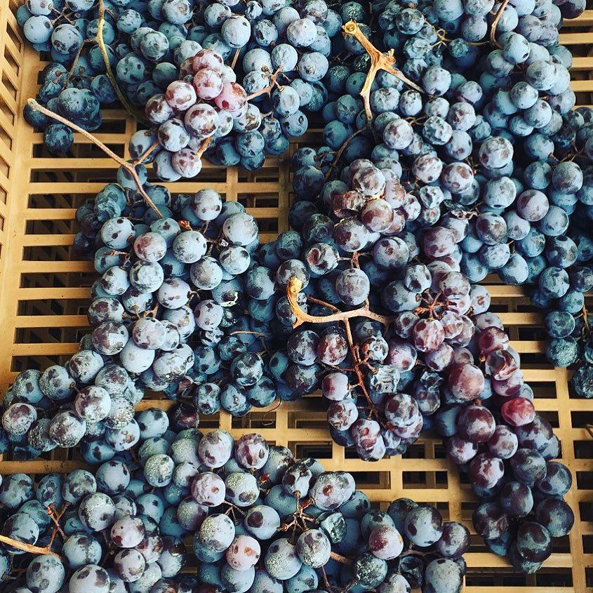 """Molinara gives wine some sunshine and minerality; the grape variety is named so because of the specific coating, which makes it seem the berries are sprinkled with flour – Uva del Mulino, Mulinara o Molinara🍷  Il nome dell'uva Molinara deriva dal vernacolo """"mulinara"""" (da mulino), ed è da attribuire al fatto che gli acini di quest'uva sono abbondantemente pruinosi da sembrare quasi spolverati di farina. Più frequentemente l'uva """"Molinara"""" si vinifica insieme ad altri vitigni per dare i noti vini veronesi 🍷"""