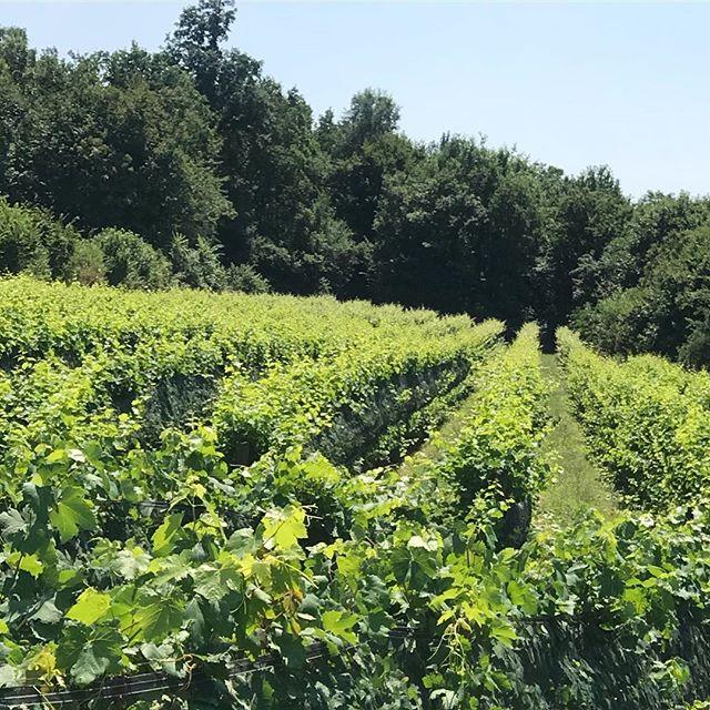 Caaaldo Riesling vineyard