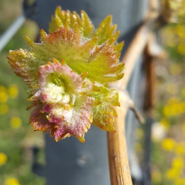 Primavera in vineyard