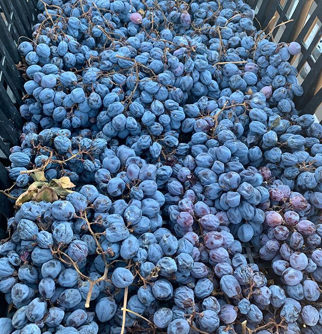 #Corvinone grapes ? for #Amarone #Cajo' #cabotta